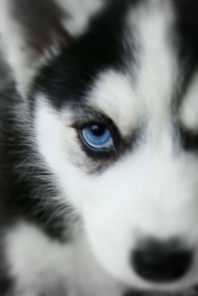 Siberian Husky - Outgoing and Cheeky | Pinterest | Hermosa, Bebe y ...