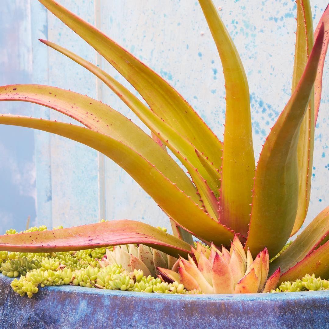 color combo Succulent care, Succulents, Succulents garden