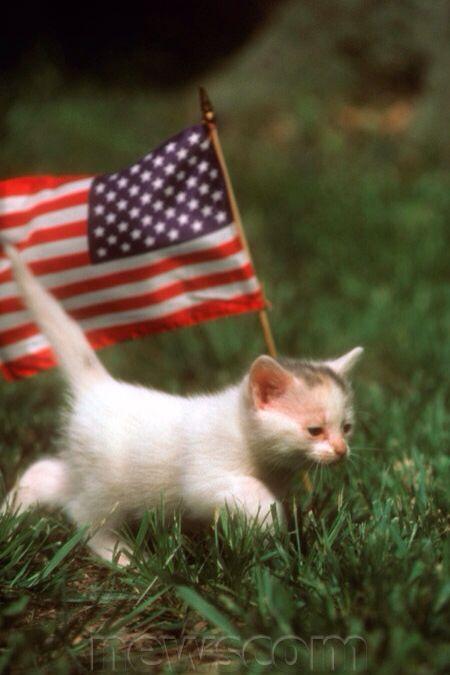 33d479a7ffe Kitten with an USA American Flag