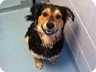 Denver Co Australian Shepherd Mix Meet Waffles A Dog For Adoption Australian Shepherd Australian Shepherd Mix Pets