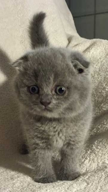 Scottish Fold Kittens For Sale At Celtic Folds Cattery Texas Scottish Fold Kittens Scottish Fold Cat Scottish Fold
