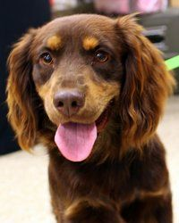 Adopt Chaz On Cocker Spaniel Dog Dapple Dachshund Puppy I Love