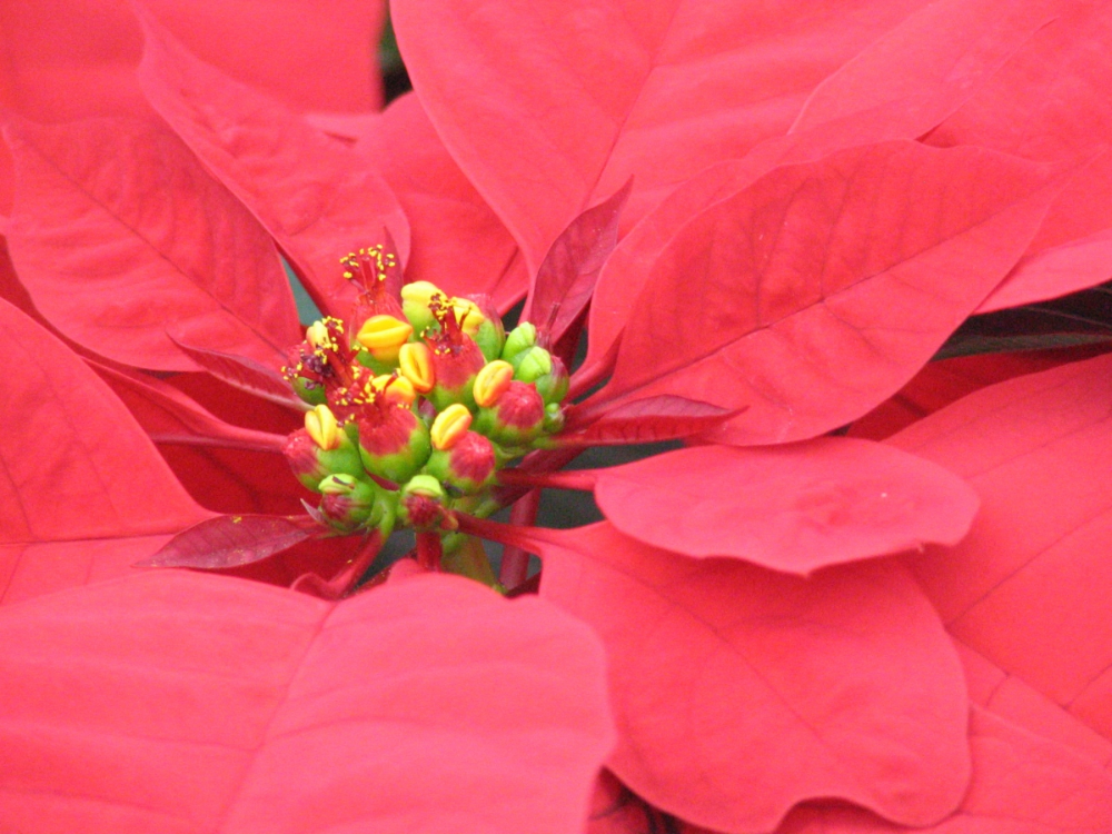 The Point Of Poinsettias Plantscapers Poinsettia Flowers Christmas Poinsettia