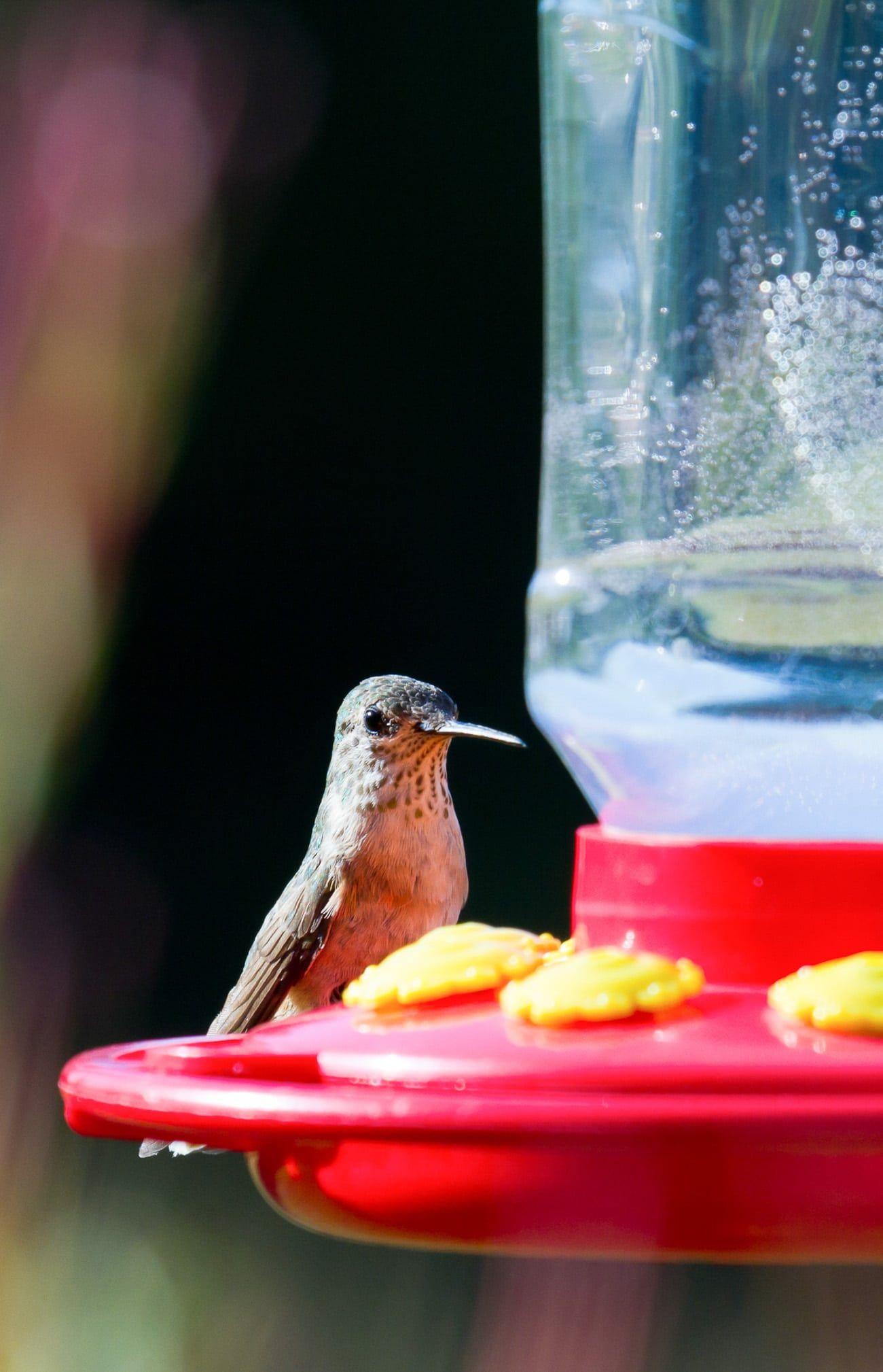 Hummingbird Food Recipe Hummingbird food, Homemade