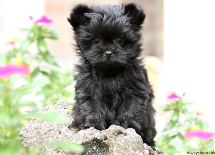 Teacup havanese puppies for sale florida