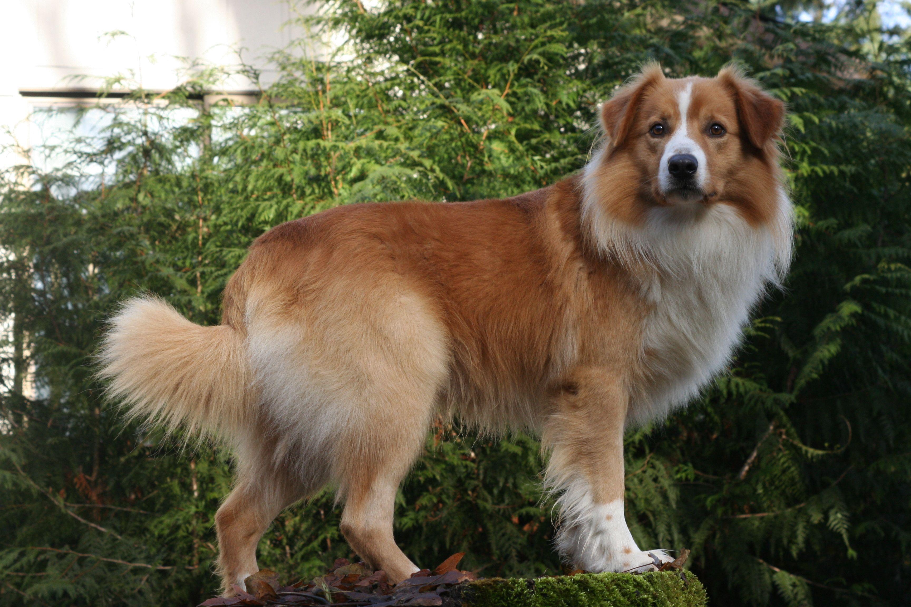 English Shepherd English shepherd, Beautiful dogs, Dog