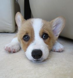 Corgi Pup Ashley Deselle Evans Tell Daddy I Really Want One