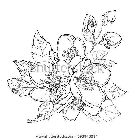 Vector Branch With Outline Jasmine Flowers Bud And Leaves Isolated On White Background Floral Elements For Spring Design Coloring Book