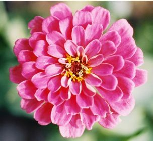 Zinnias are very, very, very easy to grow, but they must have full sun which means at least 6 hours each day. Plant zinnia...