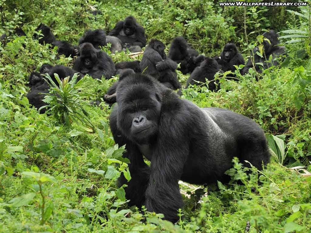 African mountain animals - An Eight Night African Escape With Mountain Gorilla Tracking In Rwanda And An All Inclusive Beach Stay In Kenya All Travel Included