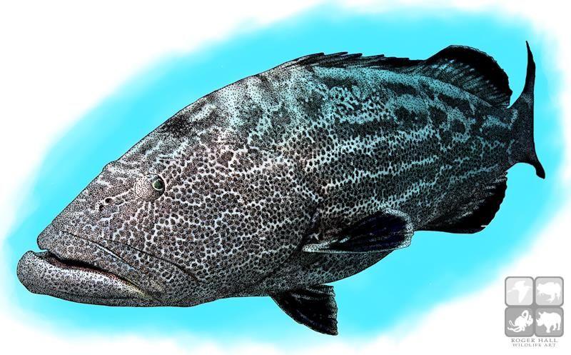 Full Color Illustration Of A Black Grouper Epinephelus Lanceolatus Grouper Illustration Grouper Fish