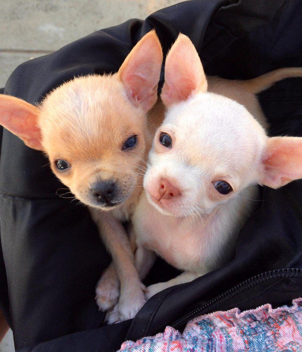 Gayweho Dogs 4 U On Chihuahua Puppies Baby Chihuahua Chihuahua