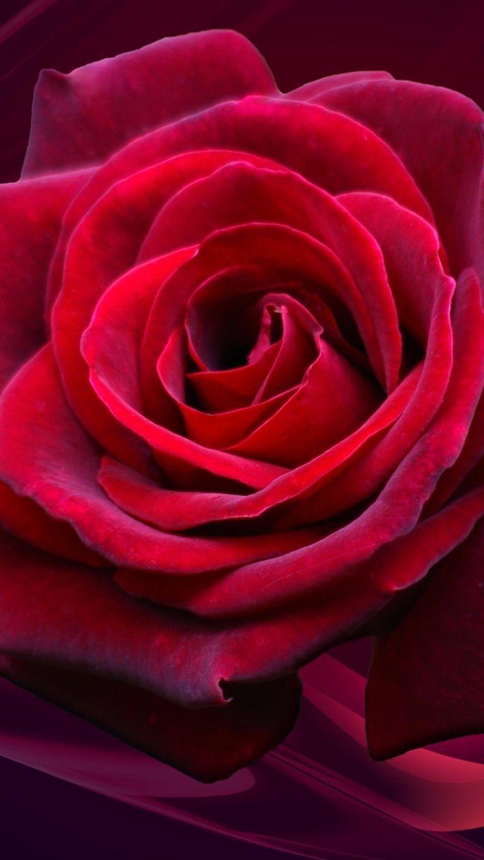 4k Ultra Hd Wallpapers Rose Wallpaper Rose Beautiful Roses