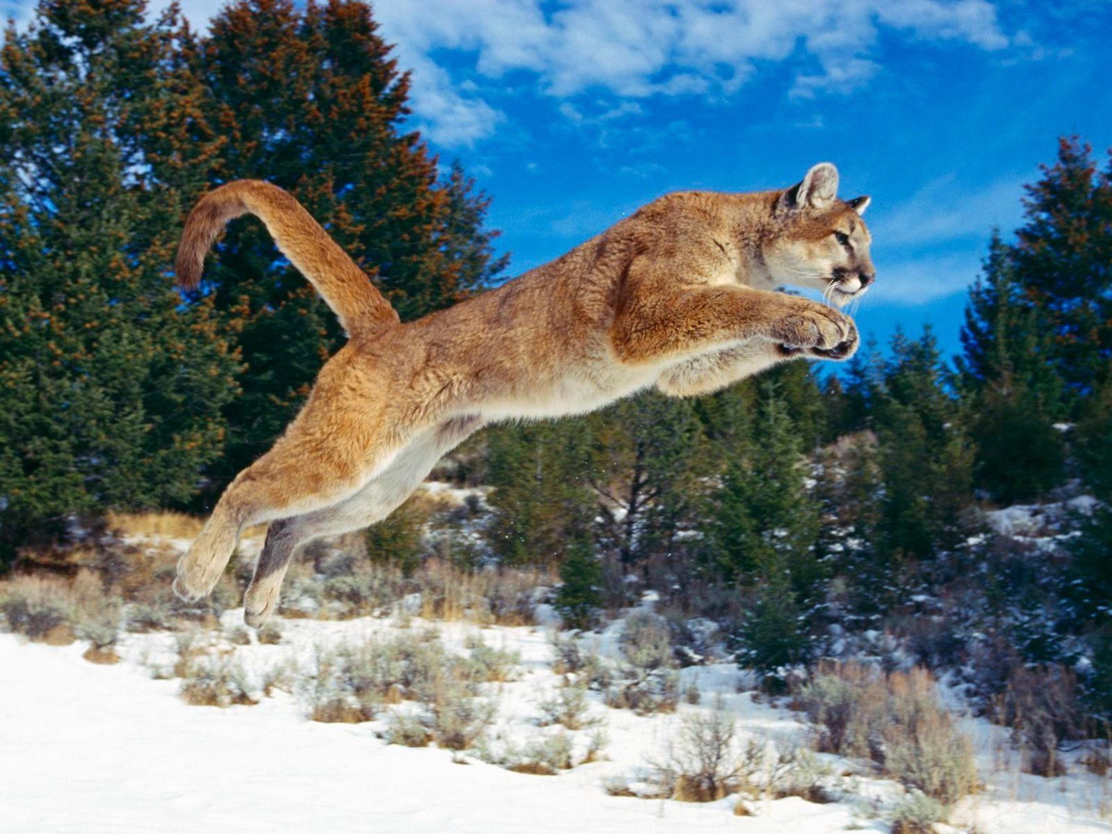 Fond D Ecran Puma Animaux Beaux Animaux Animaux Sauvages