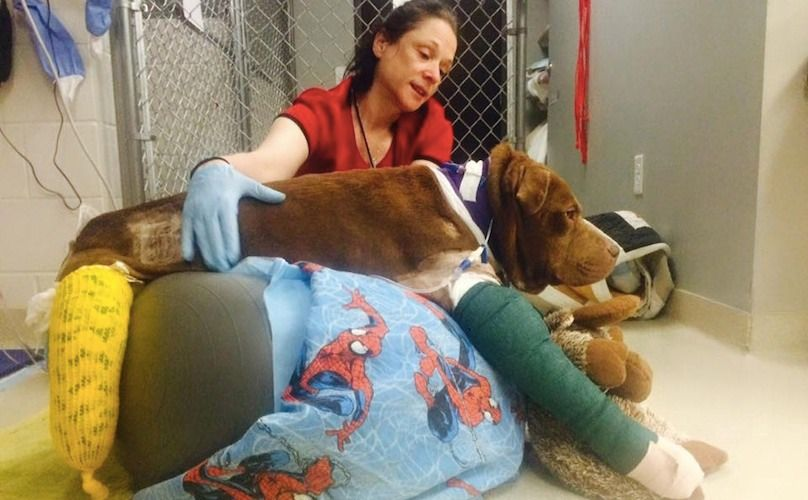Pit Bull Allegedly Used As Bait Dog Experiences Human Kindness For The First Time PLEASE DONATE TO HELP MEDICAL COSTS