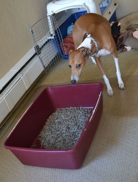 How To Train Your Dog To Use A Litter Box Dog Litter Box