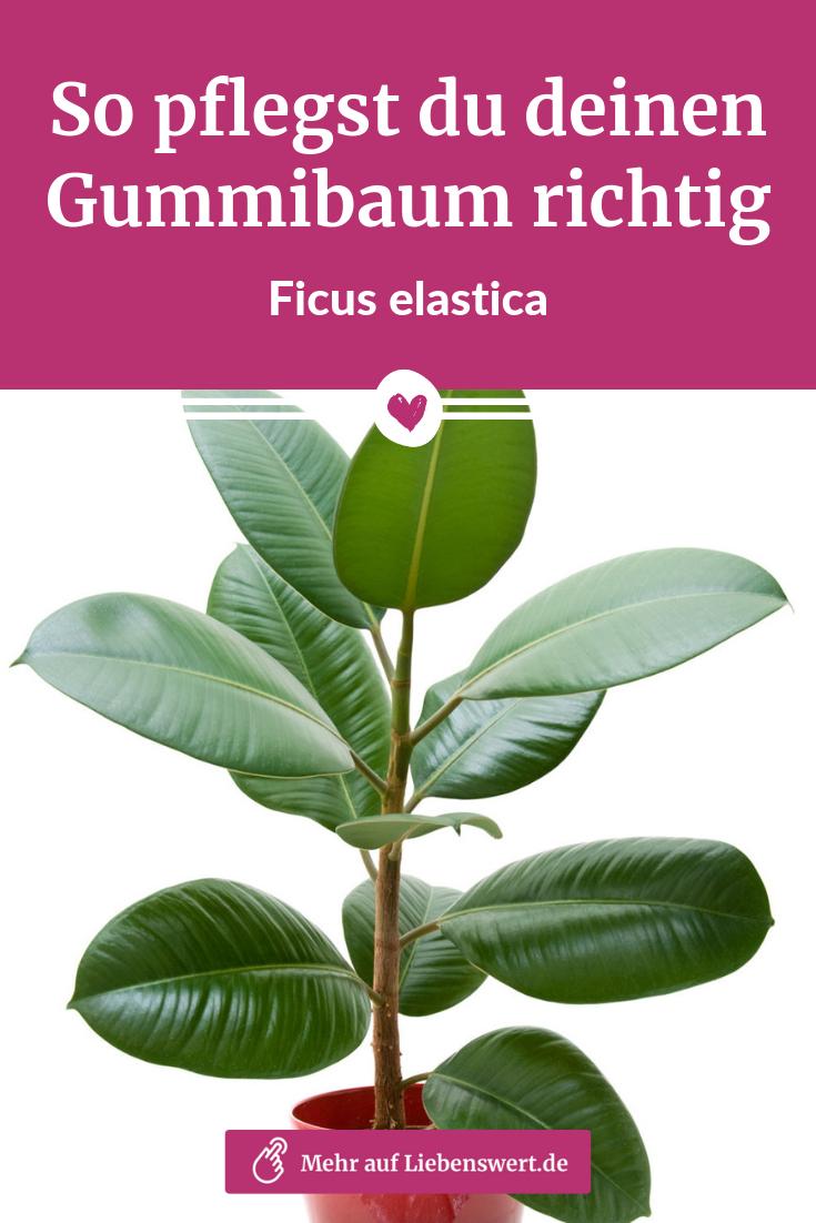 Einen Gummibaum pflegen, schneiden und ziehen: Alle Tipps & Tricks | liebenswert   – Pflanzen: Tipps zum Kauf und zur Pflege von Zimmerpflanzen, Schnittblumen & Co.