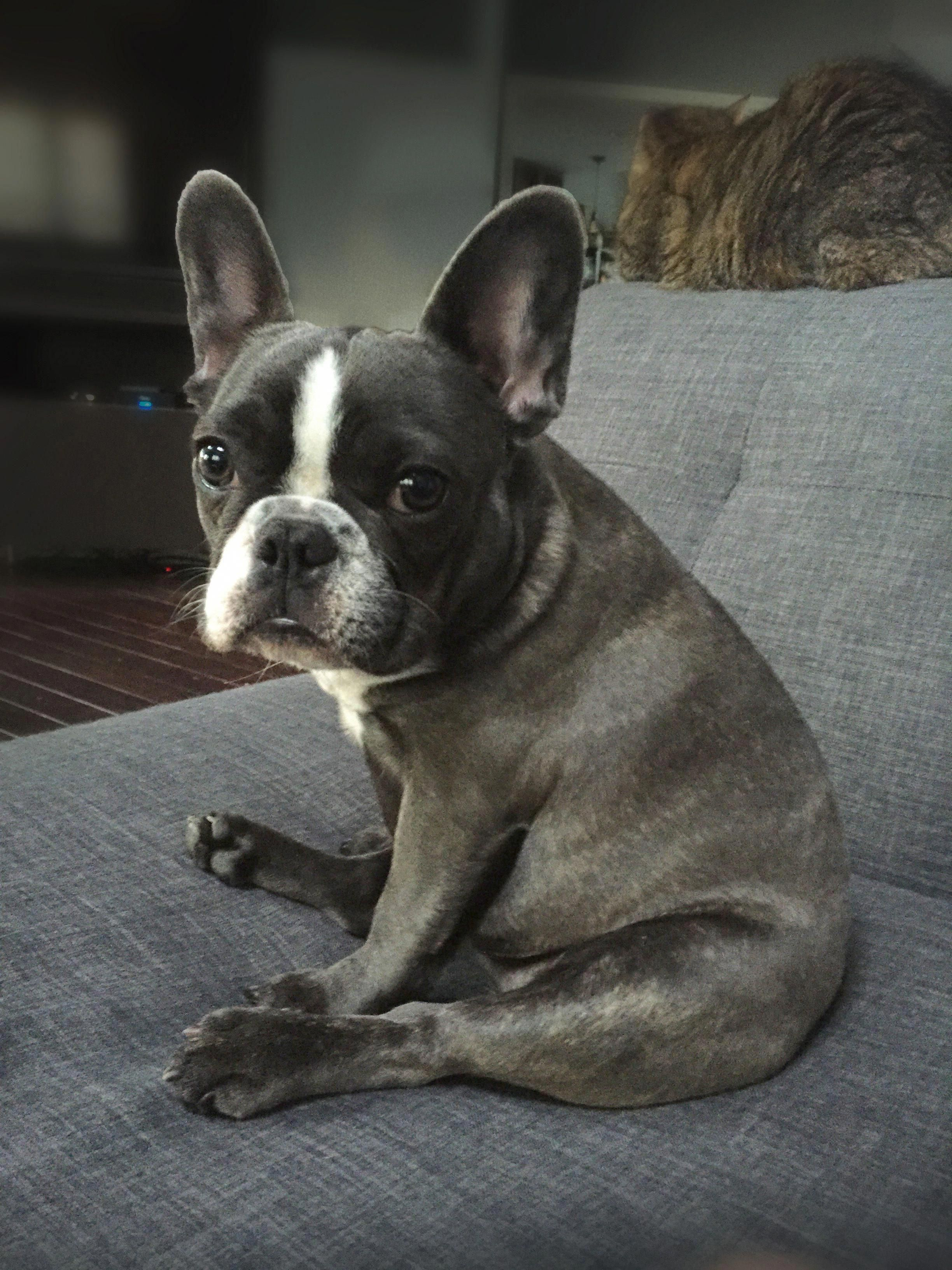 All About The Friendly French Bulldog Dog Temperament
