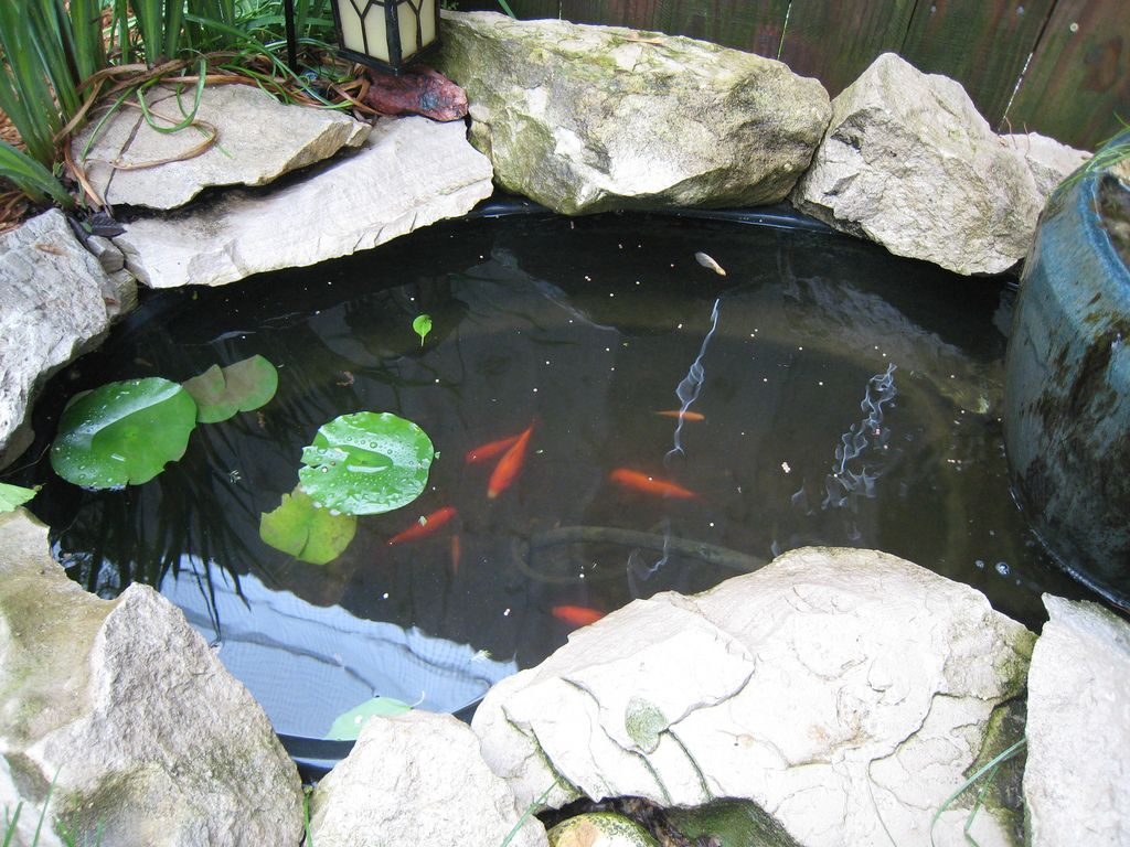 goldfish in the backyard pond backyard
