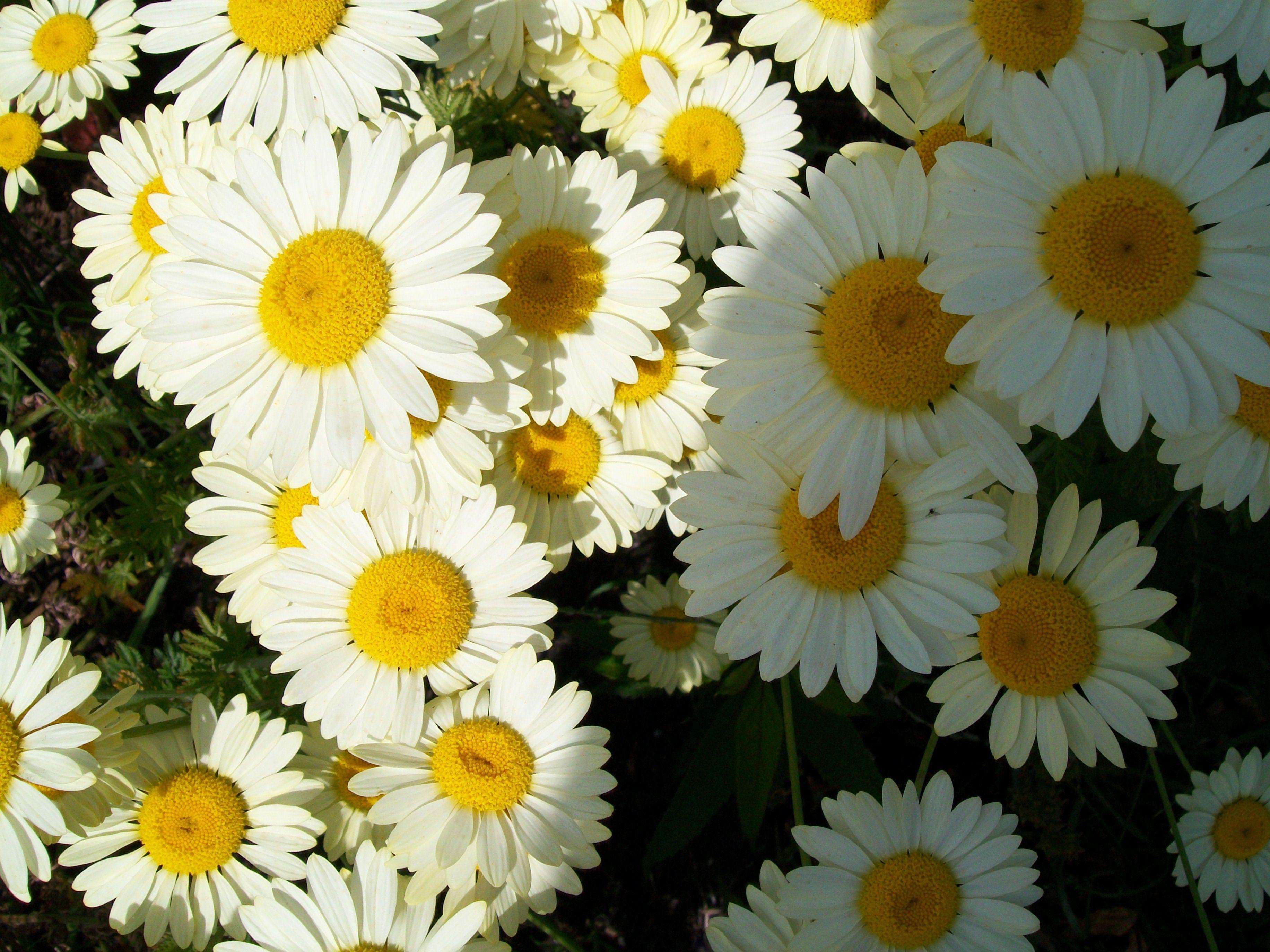 English daisy bellis perennis flowers pinterest bellis perennis english daisy bellis perennis izmirmasajfo