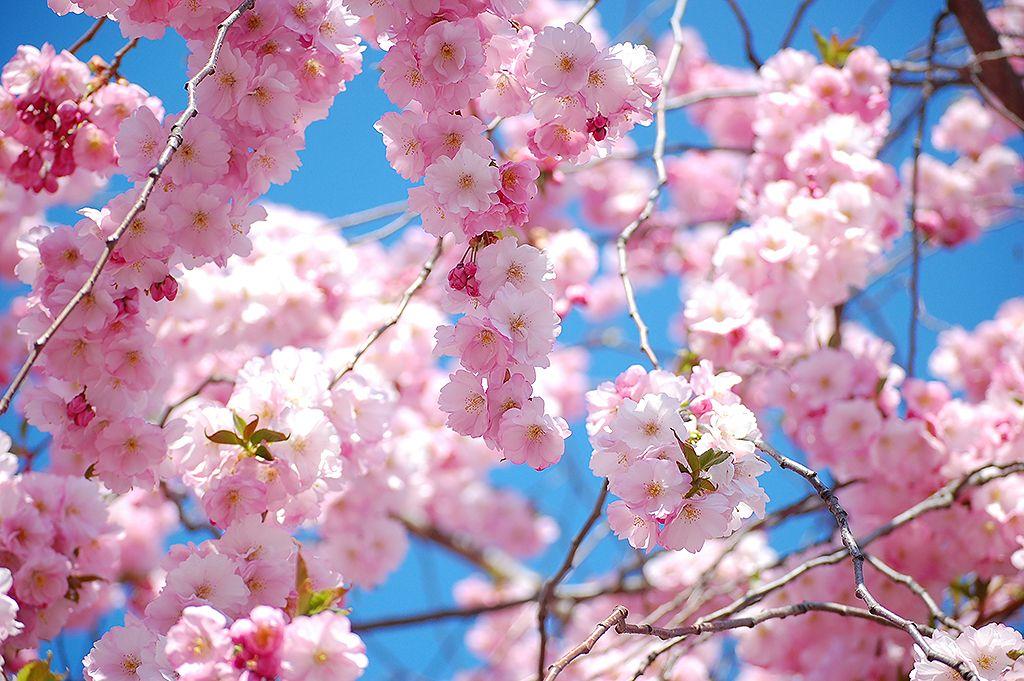 Hanami Cherry Blossom Japan Japanese Cherry Blossom Hanami