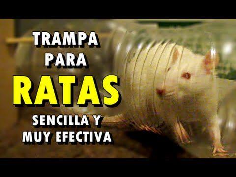 Trampa para ratas sencilla y muy efectiva mouse trap - Como hacer una trampa para ratas ...