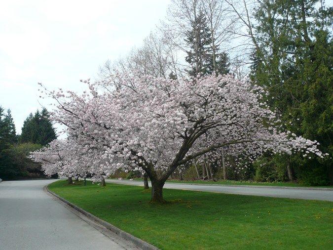 Flowering Cherry Em Prunus Yedoensis Em Akebono Photo By Vancouver Cherry Blossom Festival Flickr Blooming Trees Flowering Trees Garden Design