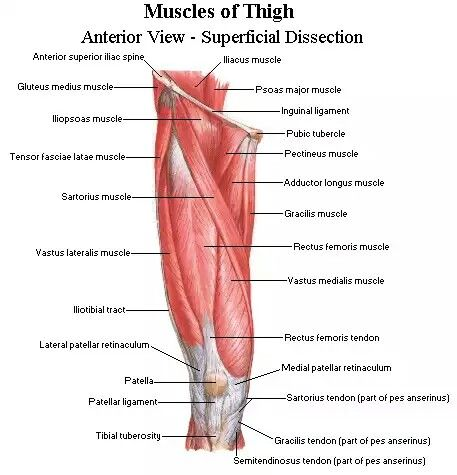 The thigh - anterior view | My heart belongs in Medicine | Pinterest