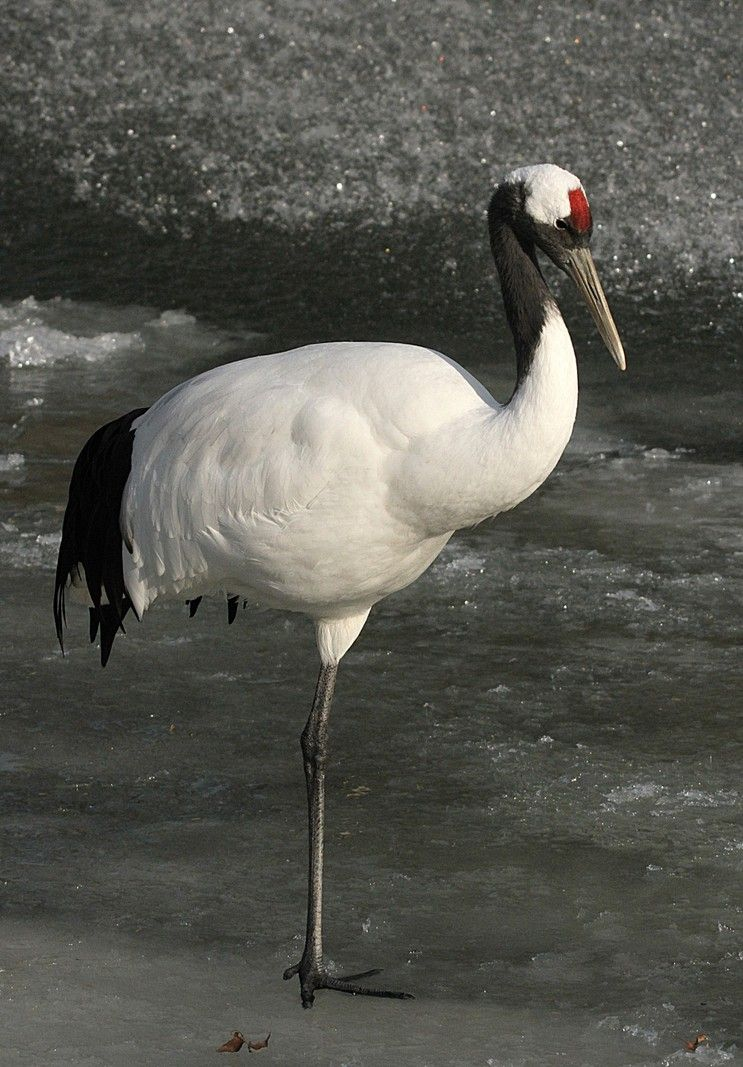 Red-crowned Crane (Grus japonensis), also called the ... - photo#19