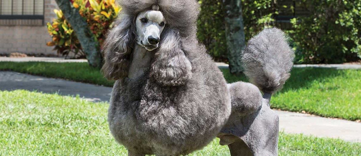 Standard Poodle Puppies Poodle Puppies For Sale Puppies Cute