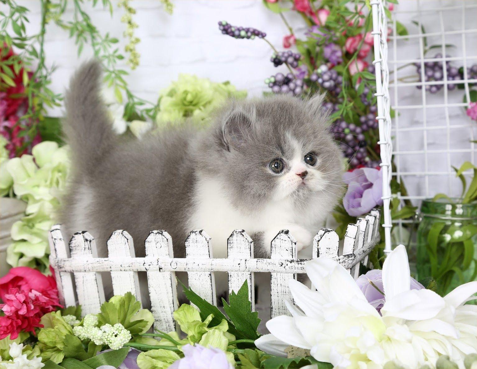 Penelope Click Here Persian kittens for sale, Persian