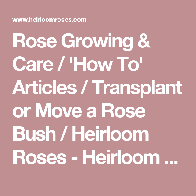 Rose Growing & Care / 'How To' Articles / Transplant or Move a Rose Bush / Heirloom Roses - Heirloom Roses