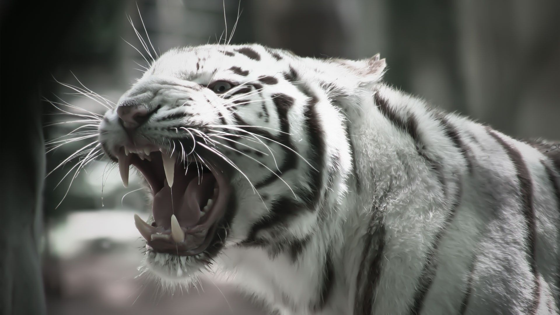 White Tiger Hd Wallpaper Wallpapersafari Tiger Wallpaper Tiger Pictures White Tiger Pictures