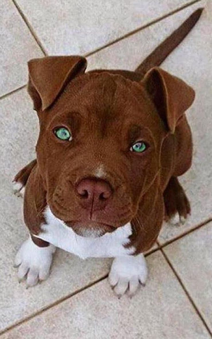 Brown Pitbull With Blue Eyes Doogoo World