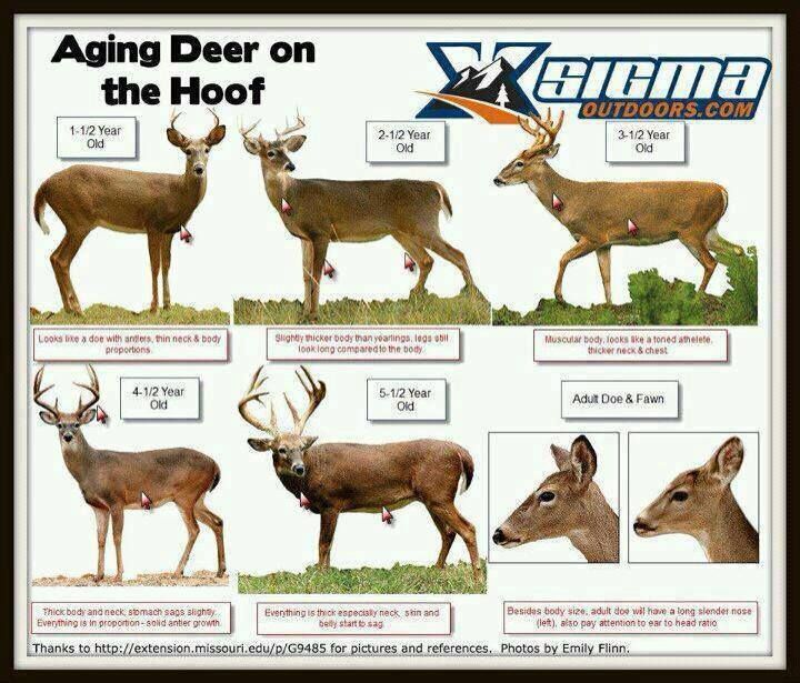 A Dixie Lady Deer Hunter Aging Chart