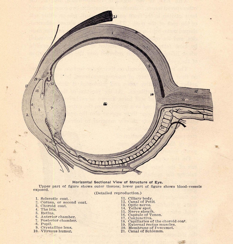 Vintage Eye Anatomy Diagram - DIY Enthusiasts Wiring Diagrams •