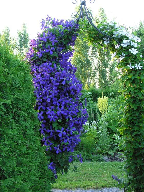 clematis jackmannii grimpante vivace soleil ou mi ombre floraison violet du d but juillet. Black Bedroom Furniture Sets. Home Design Ideas