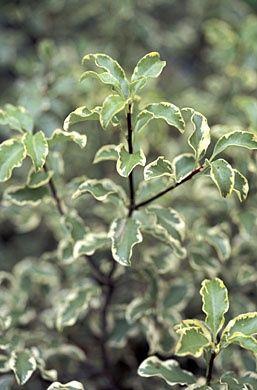 italian pittosporum arten von blumen verschiedene blumenarten bedeutung von blumen