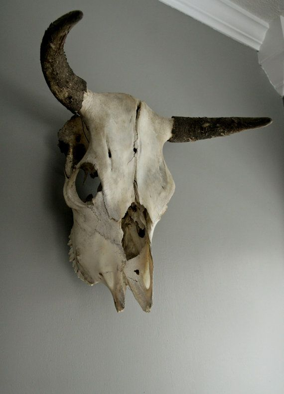 Vintage bull skull with horns & teeth | Taxidermy, Bull skulls and Horn