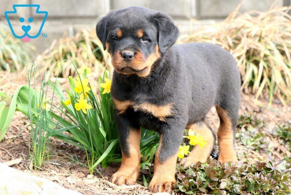 Pin By Rebekah Miles On Rottie Love In 2020 Rottweiler Puppies