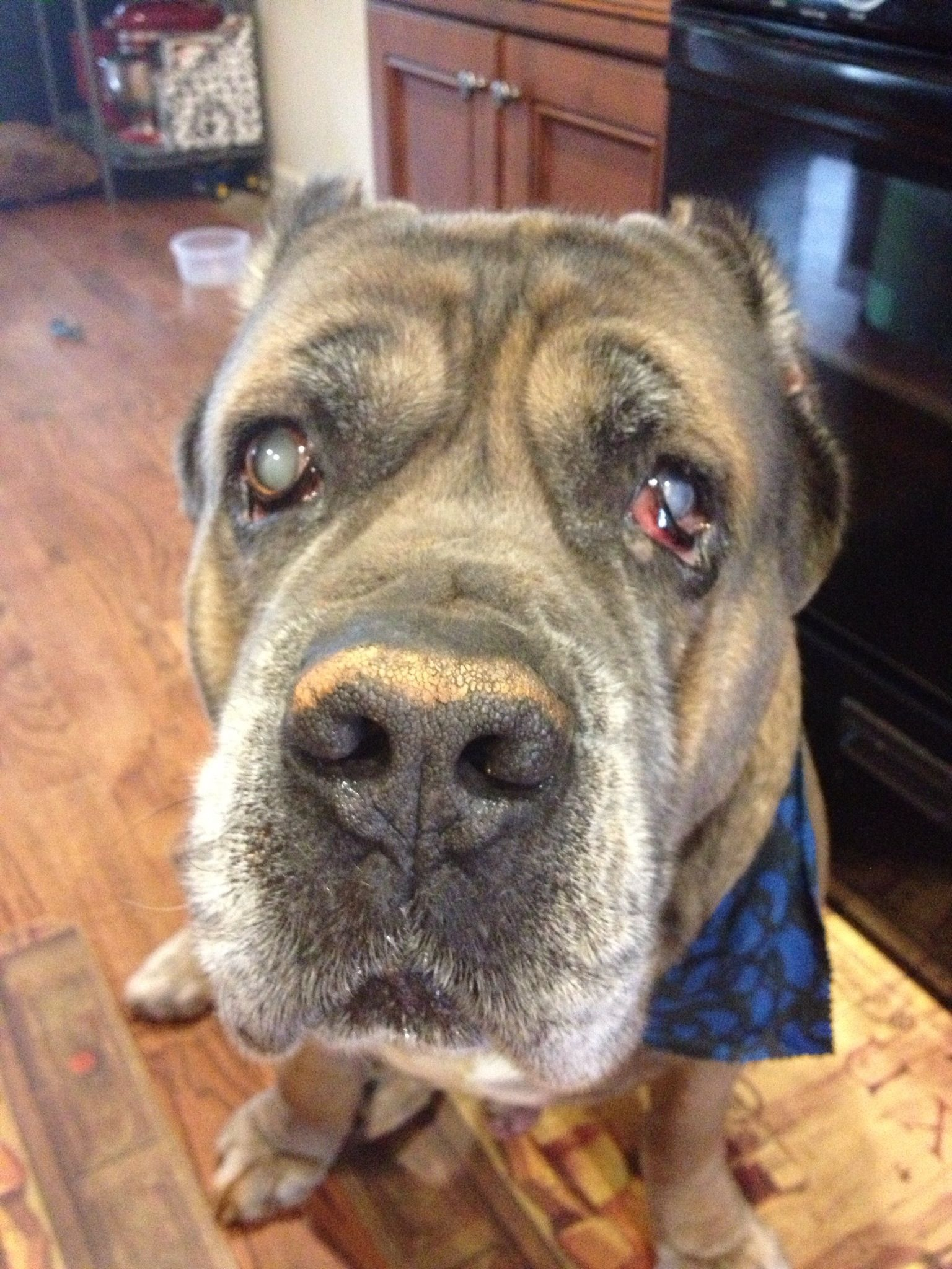 Helloo..my name is Chopper Cane corso, Dogs, Animals