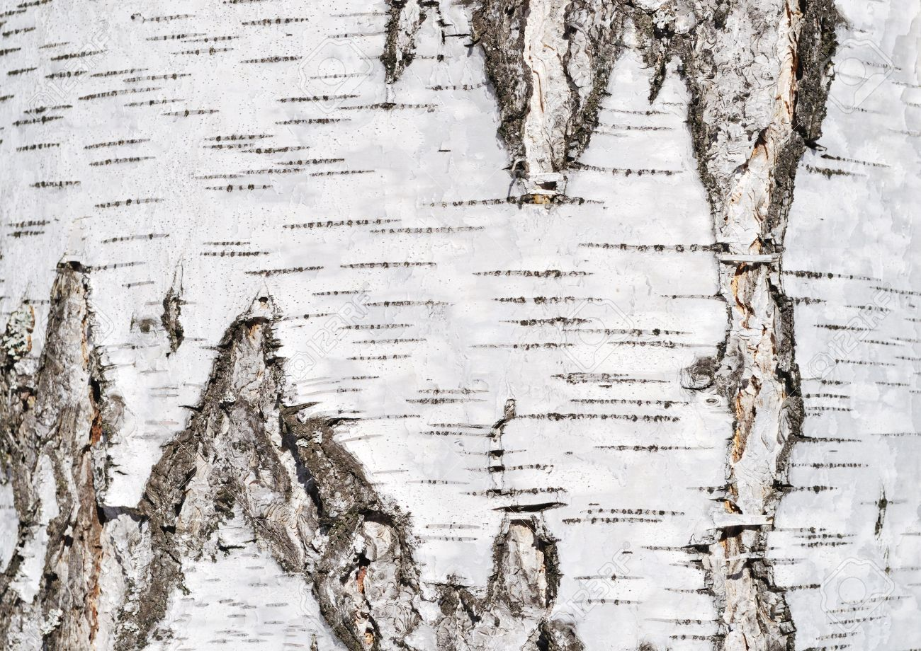 Close Up Of Birch Tree Bark Surface Texture Stock Photo, Picture .