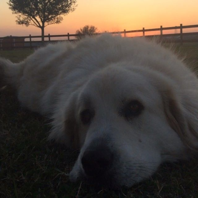 Beowulf the Pyrenees, the ever faithful watch dog of Springfield Farm! Another lovely sunset in Texas. #farmlifetexas #pyreneesdog