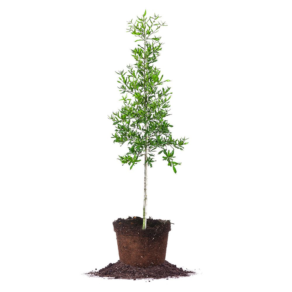 Willow Oak Tree Privacy Trees For Shade
