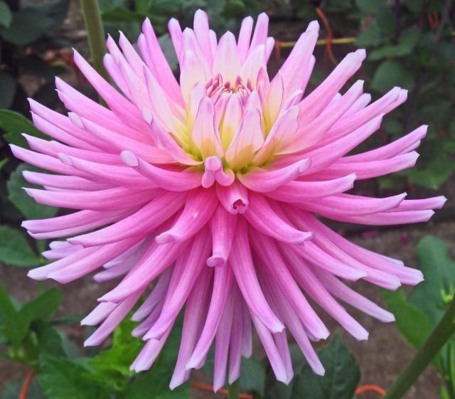 Dahlia 'Aitara Caress': cactus