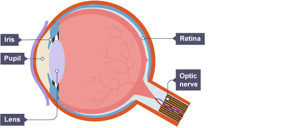 Structure of the eye showing the iris pupl lens retina and optic structure of the eye showing the iris pupl lens retina and optic ccuart Image collections