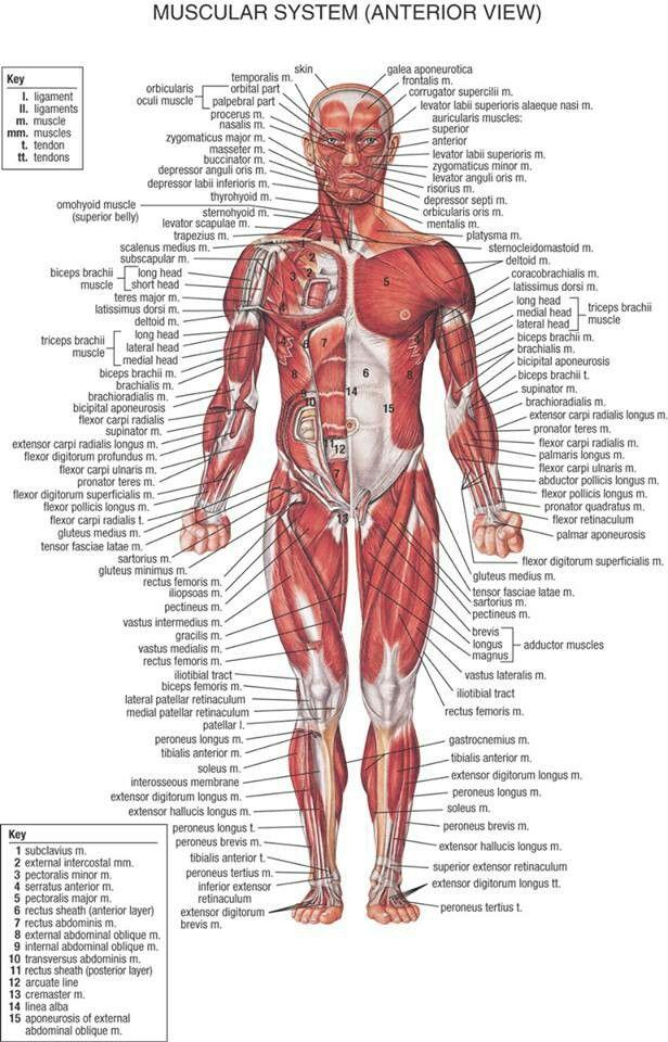 Muscular system | Clinical Nursing Practice | Pinterest | Muscular ...