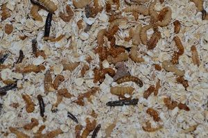 Farm mealworms for your chickens