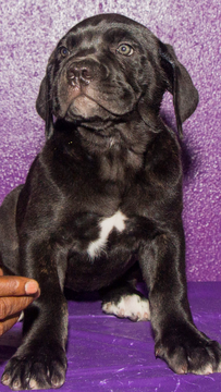 Cane Corso puppy for sale in TAMPA, FL. ADN33258 on
