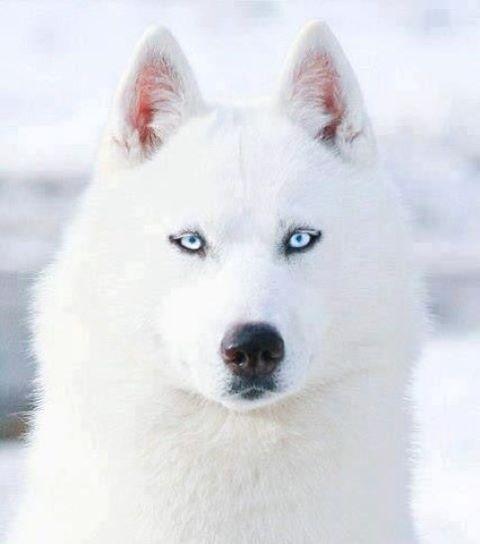 White Beauty Wildlifeplanet White Siberian Husky Husky Dogs